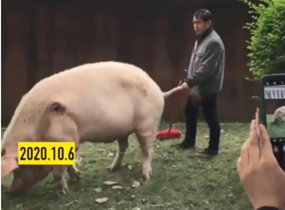 国庆多名游客探望13岁猪坚强 现住50平米别墅