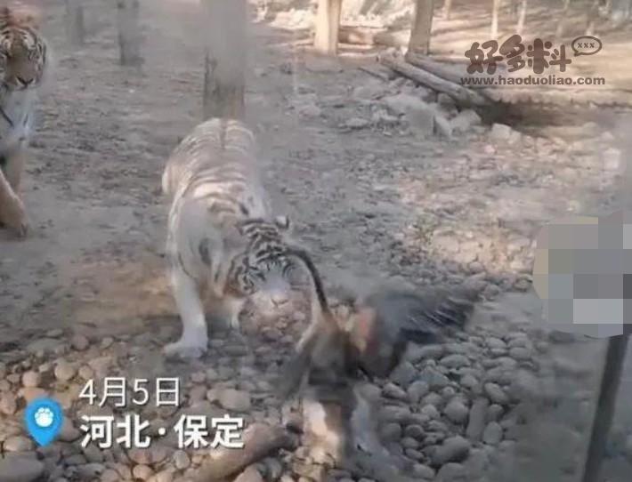 【美天棋牌】动物园老虎被大鹅追咬 网友调侃虎落动物园被鹅欺